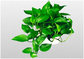 梅雨季对绿萝有没有影响?